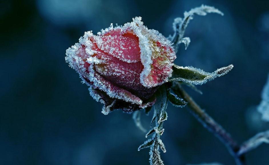 Анна Зворыкина «Зимняя роза»