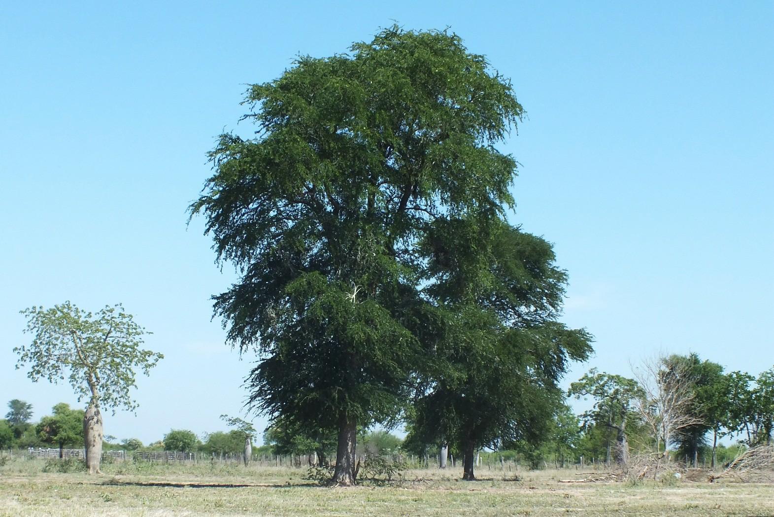 Священное дерево Пало-Санто