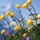 Нота Альпийские цветы