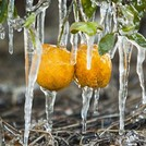 Нота Замороженный апельсин