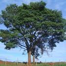 Нота Бразильское дерево копаху