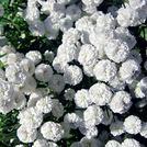 Нота Белые цветы