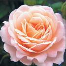 Нота Цветок клементина