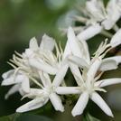 Нота Цветы кофейного дерева