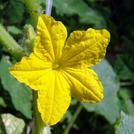 Нота Цветок огурца