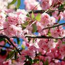 Нота Цветущая сакура