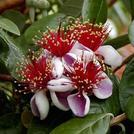 Нота Цветы гуавы