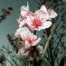 Нота Цветы персика