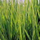 Нота Дикая трава