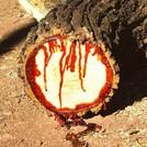 Нота Драконова кровь