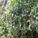 Нота Древесина ассамского чайного дерева