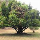 Нота Эбеновое дерево