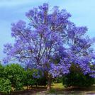 Нота Фиалковое дерево