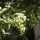 Нота Фисташковое дерево