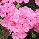 Нота Розовая герань