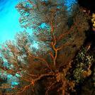 Нота Горгониевые кораллы