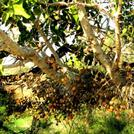 Нота Инжирное дерево