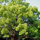 Нота Камфорное дерево