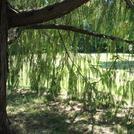 Нота Кашемировое дерево