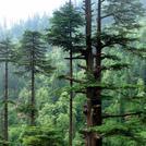 Нота Гималайский кедр