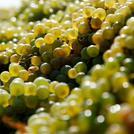 Нота Коньячный виноград