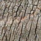 Нота Кора тропических деревьев