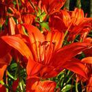 Нота Красные лилии