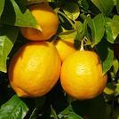 Нота Зеленый лимон