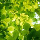 Нота Зеленые листья