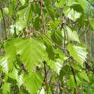 Нота Листья березы