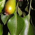 Нота Листья груши