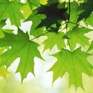 Нота Листья клена