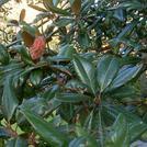 Нота Листья магнолии