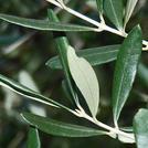 Нота Листья оливы