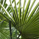 Нота Листья пальмы