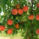 Нота Листья персика