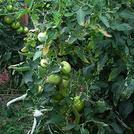 Нота Листья помидора