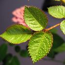 Нота Листья розы