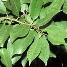 Нота Листья вишни