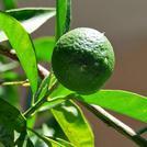 Нота Зеленый мандарин