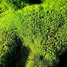 Нота Зеленый мох