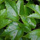 Нота Мокрые зеленые листья