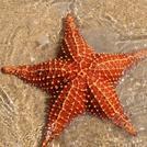 Нота Морская звезда