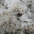 Нота Морской мох