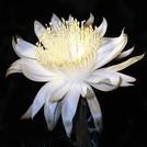 Нота Ночные цветы