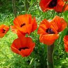 Нота Опиумные цветы