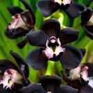 Нота Черная орхидея
