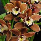 Нота Шоколадная орхидея