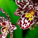 Нота Тигровая орхидея