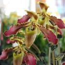 Нота Чиангмайская орхидея